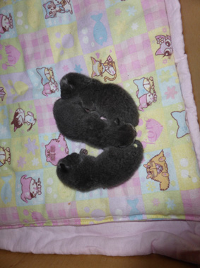 Queenie-kittens-newborn
